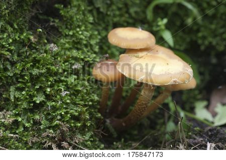 Sheathed woodtuft on an old stump closeup