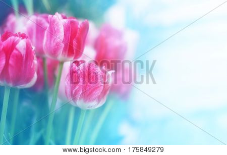 Bright photo of pink tulips on a blurred background