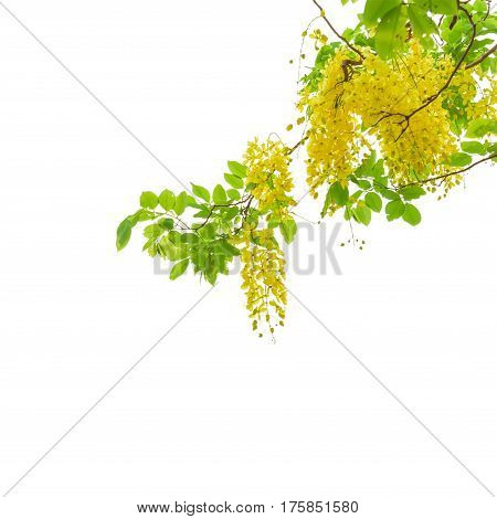 Golden shower tree (Cassia fistula) isolated on white background with clipping path.
