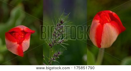 Fresh spring motives in several close-up pictures with shallow depth: bright red tulip and purple green spica on green background