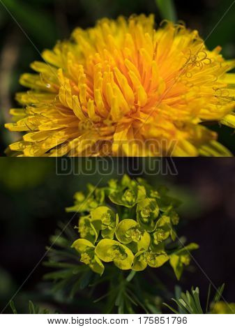 Fresh spring motives in several close-up pictures with shallow depth: yellow dandelion head and fancy green plant on dark background