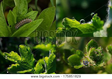 Fresh green spring motives in several close-up pictures with shallow depth: leaves with drops and nappy larva