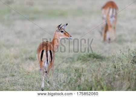 Impala On Savanna In Africa