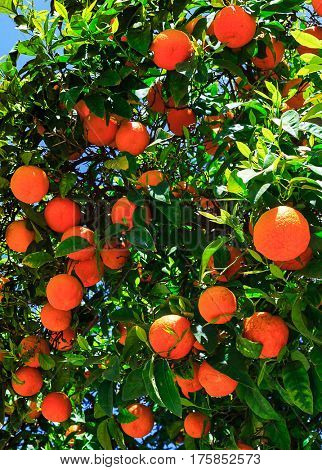 Oranges on the tree