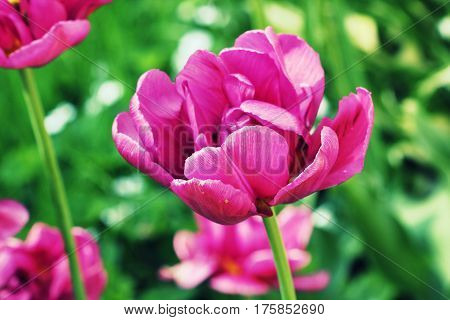 Spring background with pink tulip growing in garden