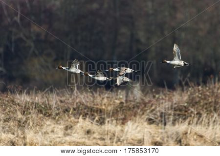 flying Northern Pintail duck at Vancouver bc canada