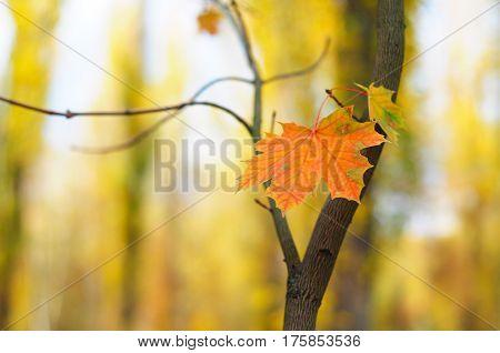 Colorful autumn maple leaf with soft focus. Maple leaf fall photo.