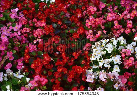 background pink red and white impatiens flowers