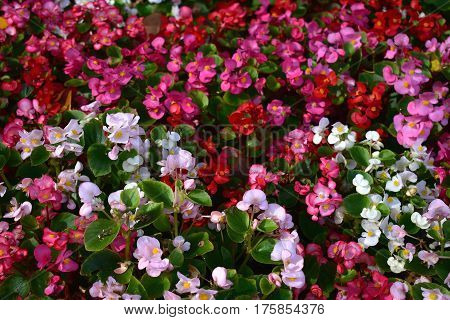background of white, pink and red impatiens flowers