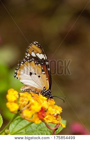 Female Plain tiger butterfly (Danaus chrysippus form alcippoides) on Lantana Camara