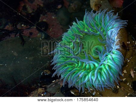 Florescent green and purple sea anemone in shallow tide pool. Sea anemones are a group of water-dwelling predatory animals of the order Actiniaria.