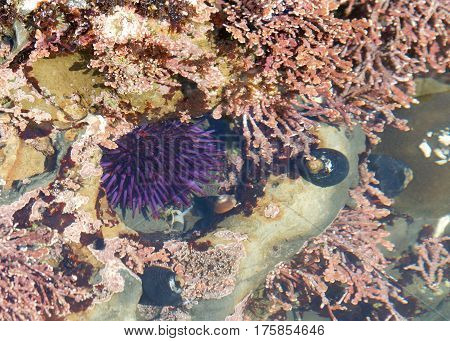 Sea urchin in shallow tide pool. Sea urchins or urchins also called sea hedgehogs. The name urchin is an old word for hedgehog.