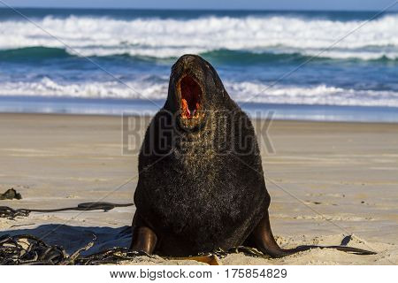 Fur seal on the beach of the sea. New Zealand
