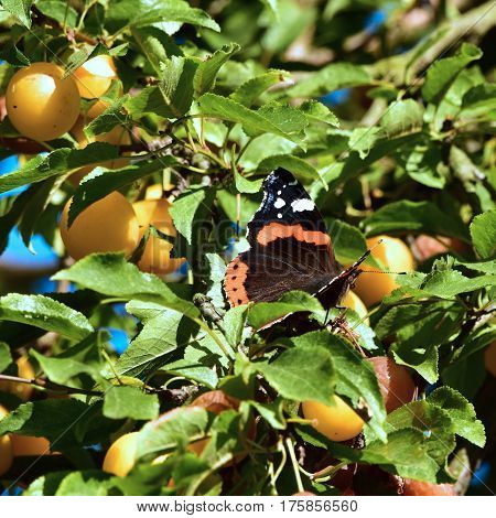 Red Admiral (Vanessa atalanta) butterfly feasting on overipes fruits