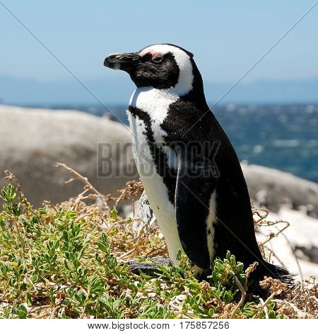 penquin on beach Boulders South Africa coast
