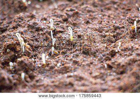 Young sprouts emerging from the earth 1