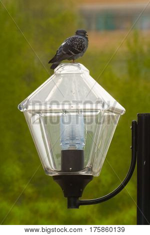 Birds of modern megacities. The dove sits on a lamp.