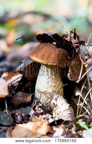 A beautiful autumn mushroom podberezovik with a dark hat hid under the fallen leaves.