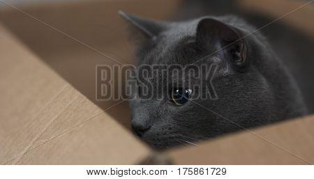 big gray cat playing in cardboard box,