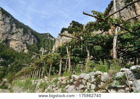 Wine vineyard along the Path of Gods hiking trail along the Amalfi Coast in Italy.