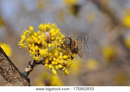 Honey bee collecting nectar on yellow flower, Honey Bee pollinating wild flower
