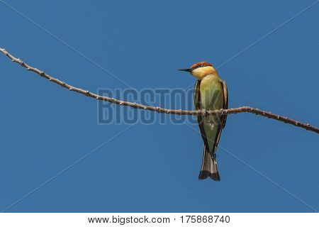 Chestnut-headed bee-eater looking for prey sitting on a branch