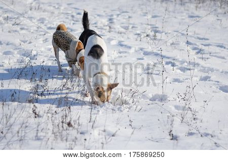 Three dogs hunting fore small rodents under fresh snow