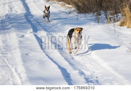 Two mixed breed male dogs chasing each other on a country road covered with fresh snow at sunny winter day