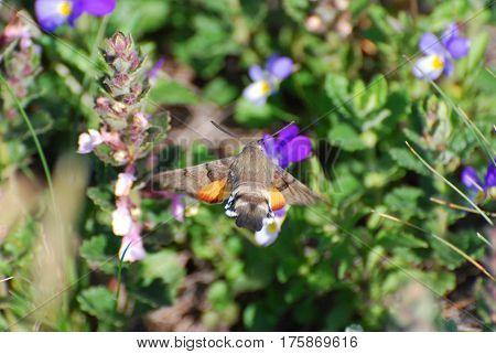Hummingbird Hawk Moth (Macroglossum stellatarum) sucking nectar from wild flower.