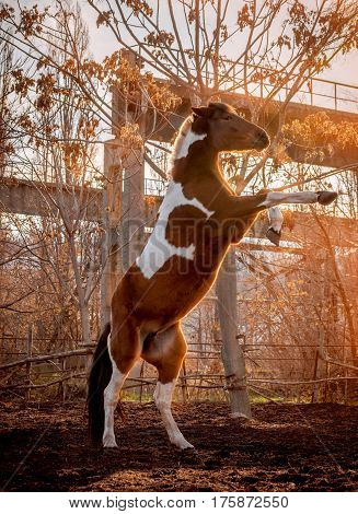Beautiful piebald horse closeup in the walking open-air cage, nice sunny day. The horse rose on its hind legs.