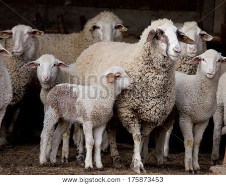 Sheep Flock On Farm