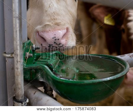 Cow With Watering Bowl