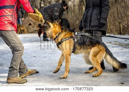 Police Shepherd Dog Attacks And Bites During The Training Cource
