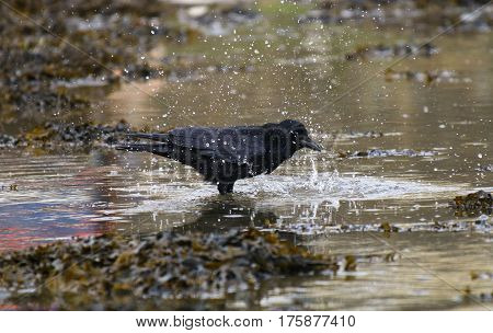 A Carrion Crow about to take a bath in water