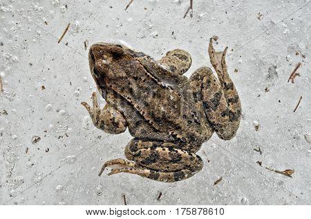 Frozen dead frog blocked in the ice