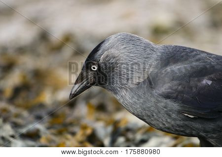 A close up of a Jackdaw and it's piercing blue eye