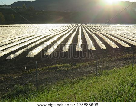 Crops Being Cultivated Under Cloches