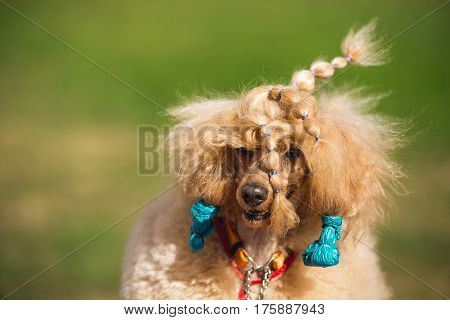 Poodle at the exhibition, training. Poodle on a walk, autumn