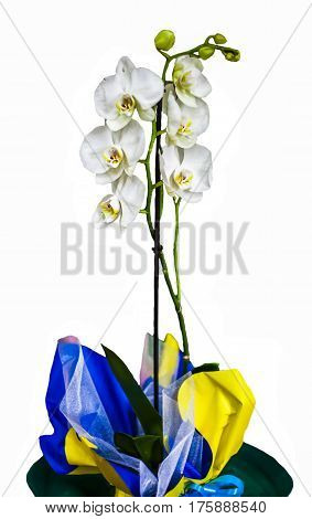 Orchid (Phalaenopsis) - Beautiful white orchid flowers. Blooming orchid.