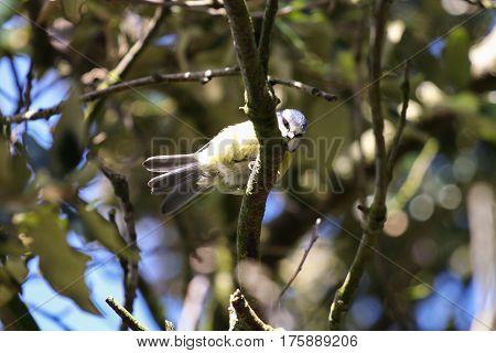 A Blue Tit beneath a tree canopy in bright sunshine
