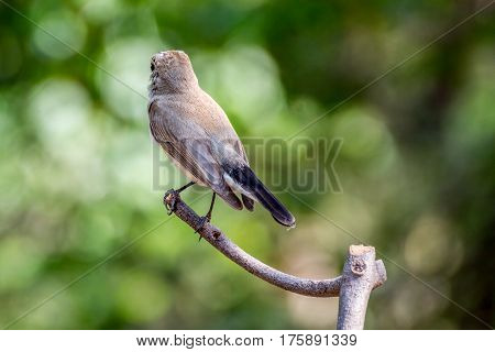 Bird (red-throated Flycatcher) On A Tree