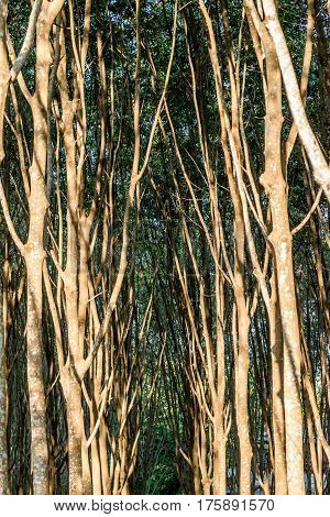 Rubber Tree In Row At A Rubber Tree Plantation