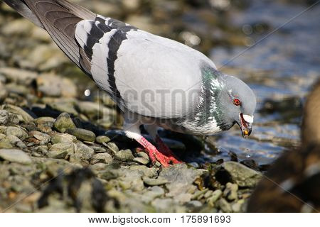 A feral pigeon with white patch on it's chest