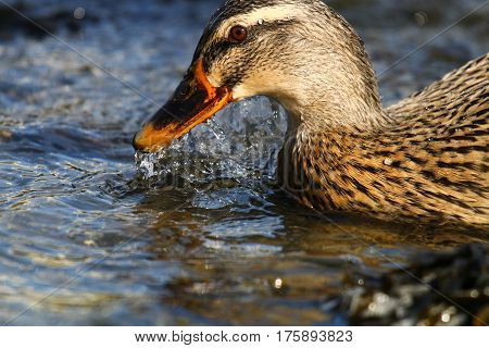 A female mallard sifting water from her beak