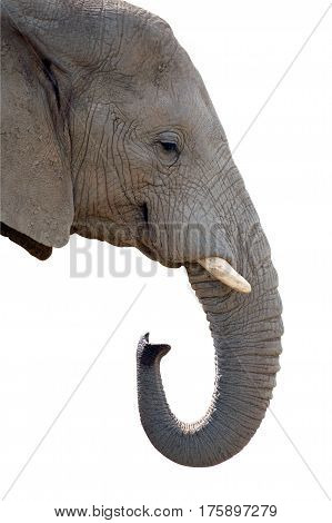 Elephant jumbo head isolated on white background