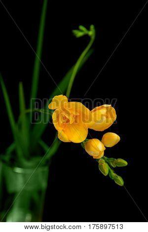 single flower yellow freesia on black background