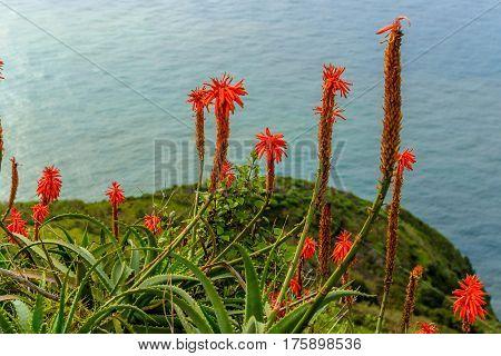 Aloe vera flower blooming near the ocean on the island of Madeira.