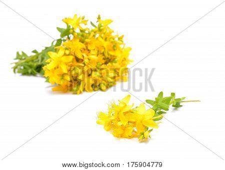 Hypericum flowers Hypericum perforatum or St John's wort