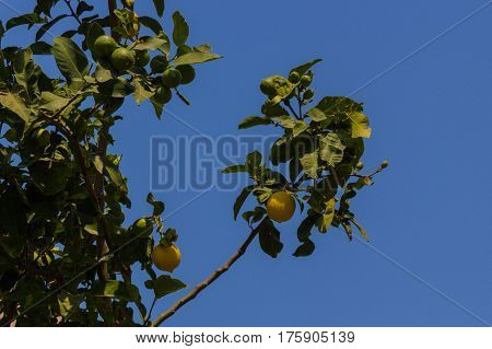Lemon On The Tree.