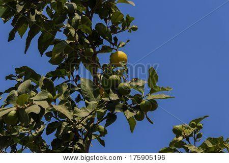 Lemon On The Tree.